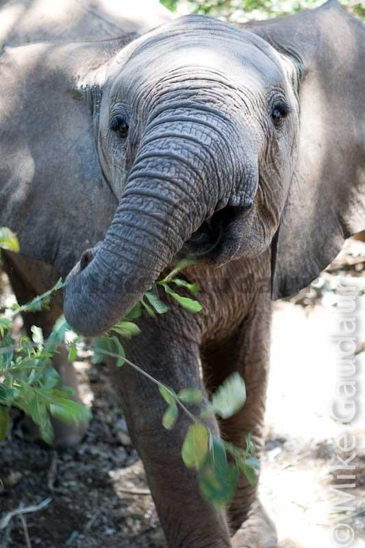 inquisitive elephant calf