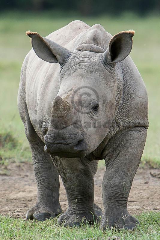 baby rhino vertical 07 07 22 Nakuru Rhino 07